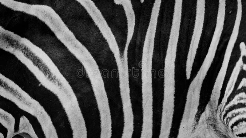 Ζέβρα τυπωμένη ύλη, ζωικό δέρμα, λωρίδες τιγρών, αφηρημένο σχέδιο, γραμμή στοκ φωτογραφία