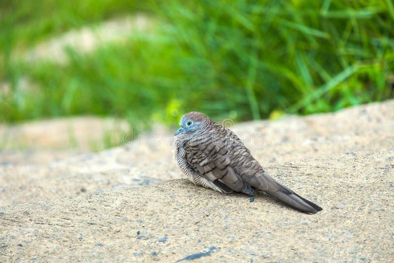 Ζέβρα χρόνος ανάπαυλας πουλιών περιστεριών στοκ φωτογραφία με δικαίωμα ελεύθερης χρήσης