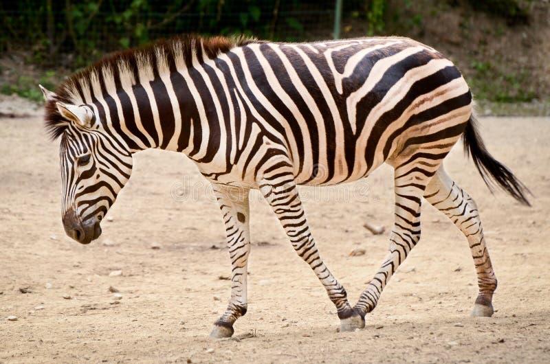 Ζέβρα - quagga Equus στοκ φωτογραφίες