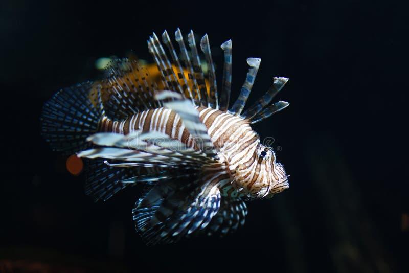 Ζέβρ ψάρια στο νερό στοκ φωτογραφίες με δικαίωμα ελεύθερης χρήσης