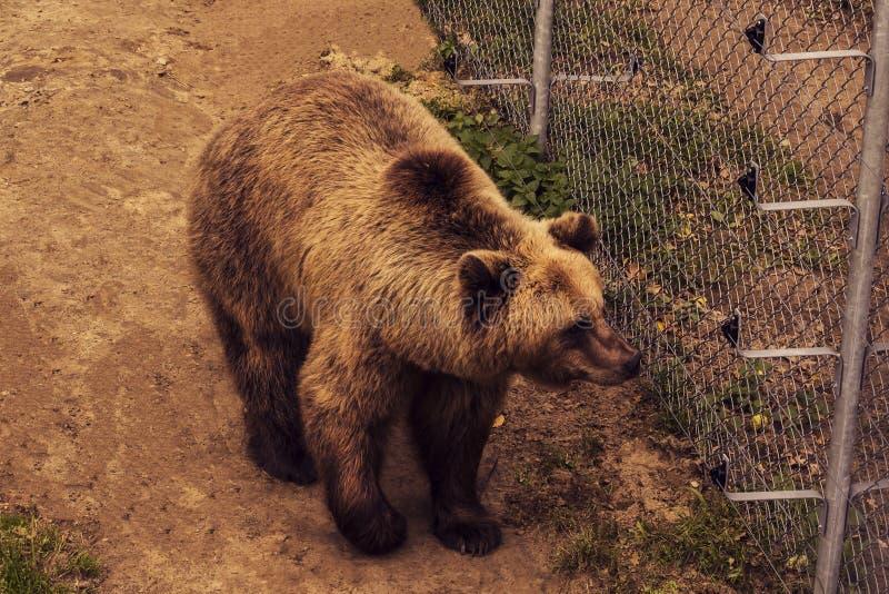 Ζήστε αρκούδα πίσω από τα πλέγματα ενός κλουβιού Grizly που περπατά στο έδαφος Λυπημένος καφετής αντέχει στην αιχμαλωσία στοκ εικόνα με δικαίωμα ελεύθερης χρήσης