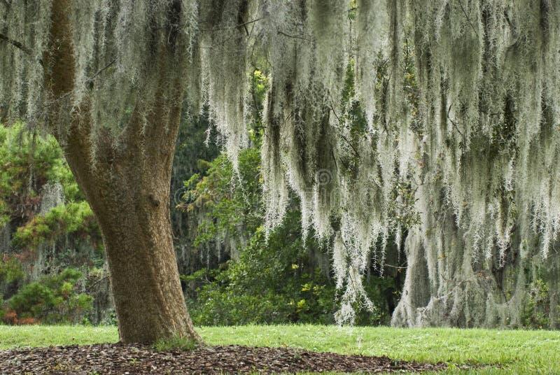 ζήστε δρύινο ισπανικό δέντρο βρύου στοκ εικόνες