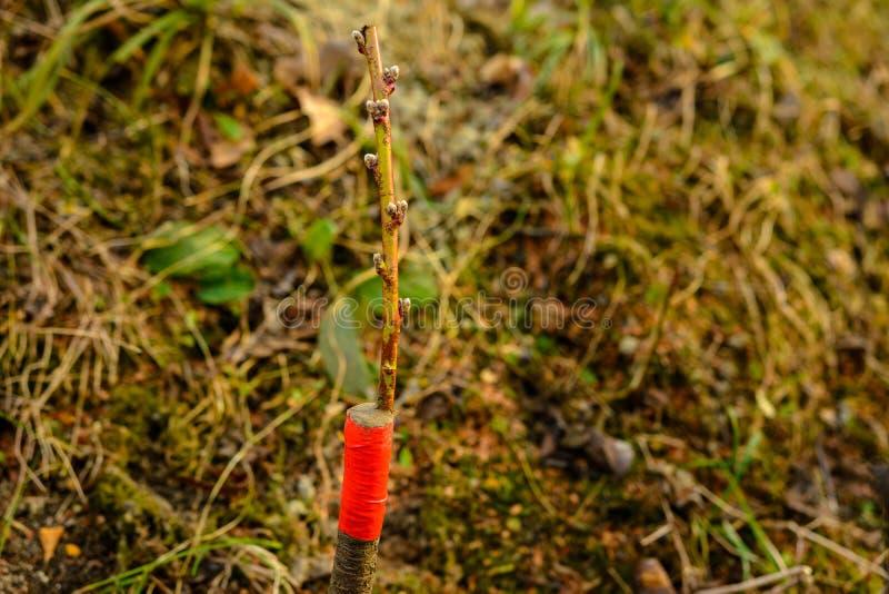 Ζήστε μοσχεύματα στο μπόλιασμα του δέντρου μηλιάς διασπασμένος με την ανάπτυξη των οφθαλμών, των νέων φύλλων και των λουλουδιών c στοκ φωτογραφία