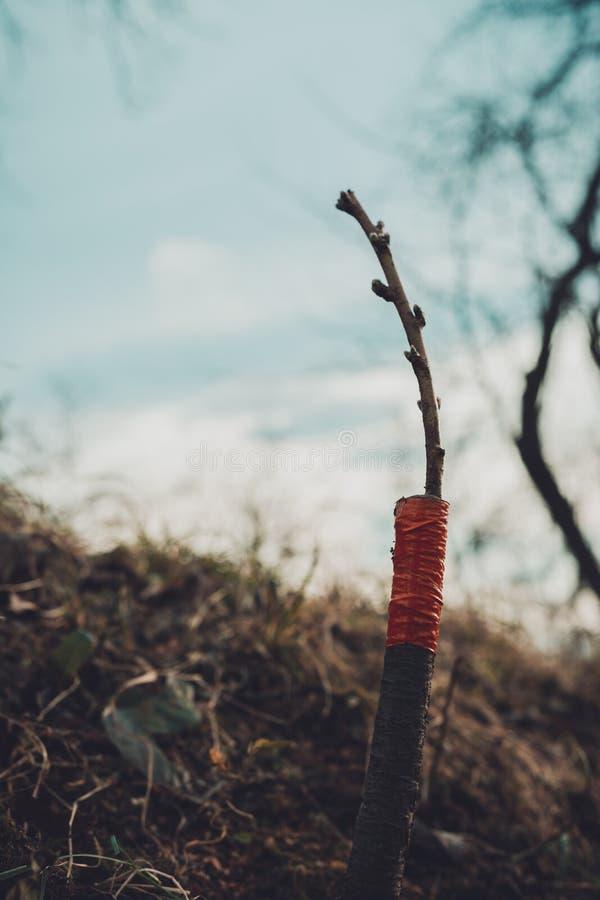 Ζήστε μοσχεύματα στο μπόλιασμα του δέντρου μηλιάς διασπασμένος με την ανάπτυξη των οφθαλμών, των νέων φύλλων και των λουλουδιών c στοκ φωτογραφίες με δικαίωμα ελεύθερης χρήσης