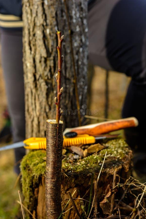 Ζήστε μοσχεύματα στο μπόλιασμα του δέντρου μηλιάς διασπασμένος με την ανάπτυξη των οφθαλμών, των νέων φύλλων και των λουλουδιών c στοκ εικόνες με δικαίωμα ελεύθερης χρήσης