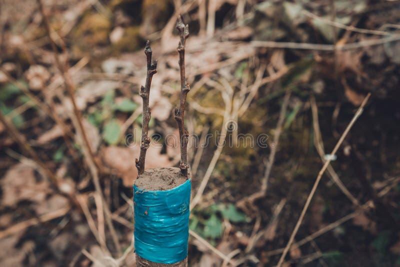 Ζήστε μοσχεύματα στο μπόλιασμα του δέντρου μηλιάς διασπασμένος με την ανάπτυξη των οφθαλμών, των νέων φύλλων και των λουλουδιών c στοκ φωτογραφία με δικαίωμα ελεύθερης χρήσης