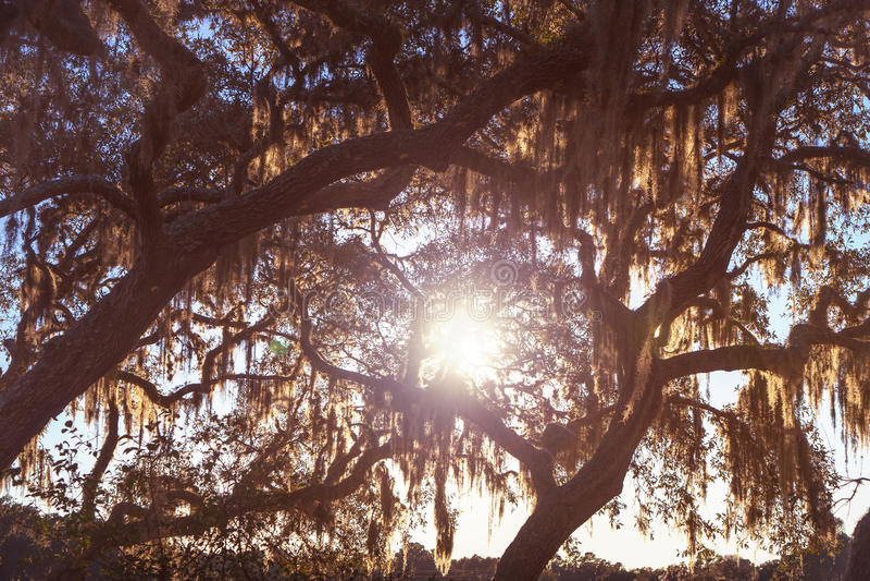 Ζήστε δρύινα δέντρα στο ηλιοβασίλεμα στοκ φωτογραφία με δικαίωμα ελεύθερης χρήσης