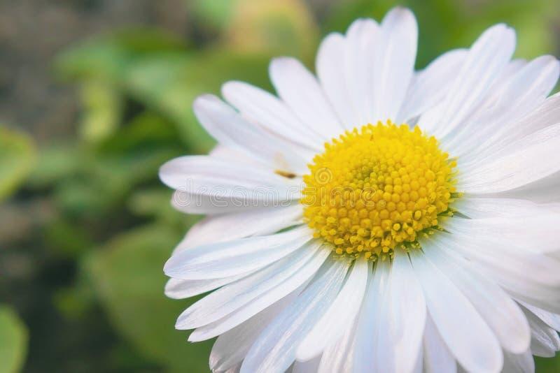 Ζήστε όμορφο λουλούδι Μακρο φωτογραφία chamomile στοκ εικόνες με δικαίωμα ελεύθερης χρήσης