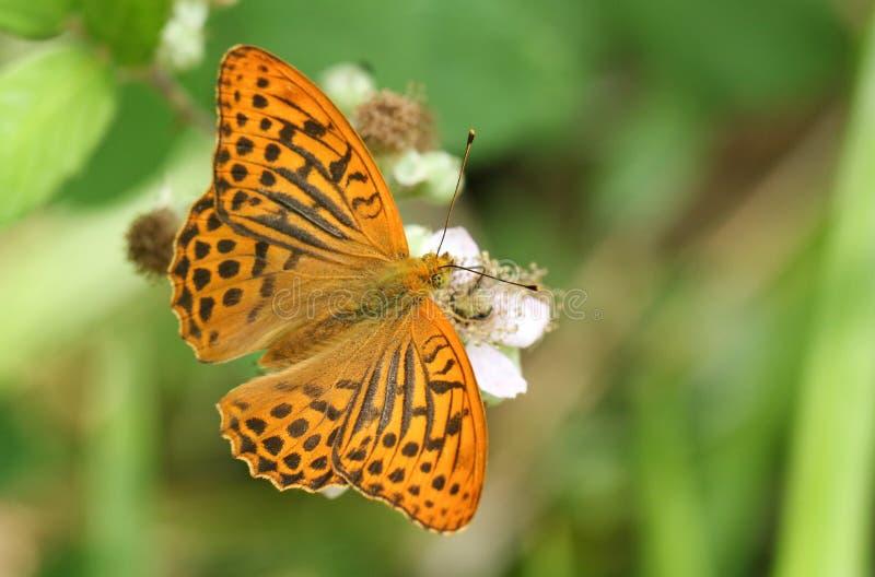 Ζαλίζοντας ασημένιος-πλυμένο paphia Argynnis πεταλούδων Fritillary σε ένα λουλούδι βατόμουρων στη δασώδη περιοχή στοκ εικόνα με δικαίωμα ελεύθερης χρήσης