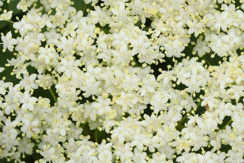 Ζαλίζοντας Elderberry nigra Sambucus λουλουδιών στοκ εικόνες