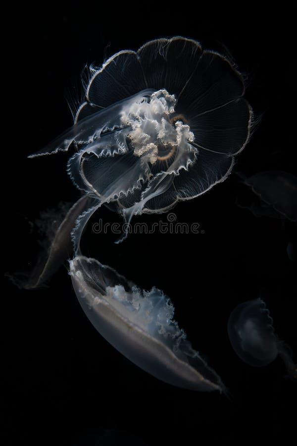 Ζελατίνα φεγγαριών που επιπλέει στο νερό στοκ εικόνα με δικαίωμα ελεύθερης χρήσης