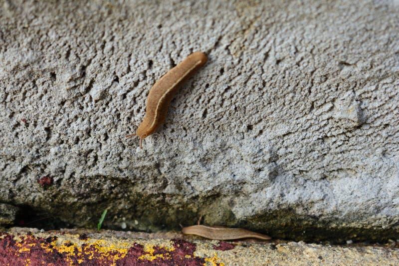 Ζευγάρι 1 γυμνοσαλιάγκων στοκ εικόνα με δικαίωμα ελεύθερης χρήσης