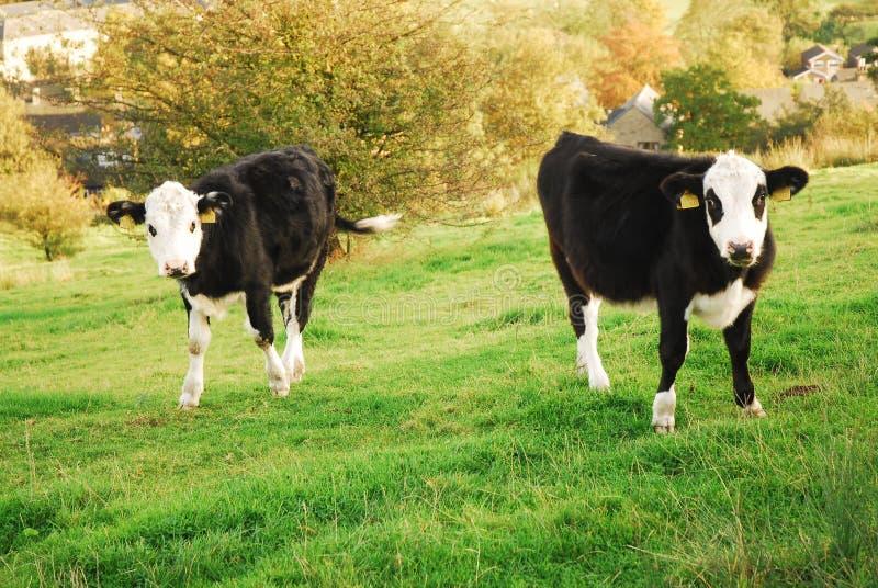 ζευγάρι πεδίων ο αγελάδ&ome στοκ εικόνα