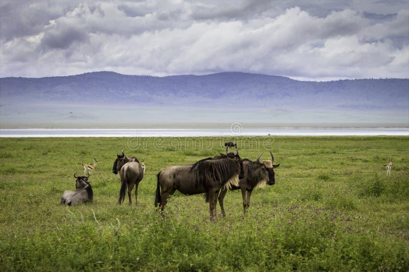 Ζευγάρι πιό wildebeest στοκ εικόνα με δικαίωμα ελεύθερης χρήσης