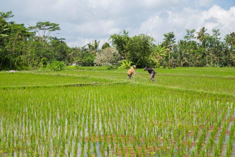 Ζευγάρι που εργάζεται στα φύλλα ρυζιού στοκ φωτογραφία