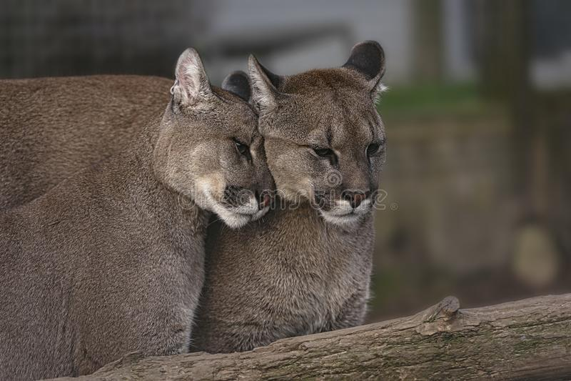 Ζευγάρι στοργικού Puma στοκ εικόνα με δικαίωμα ελεύθερης χρήσης