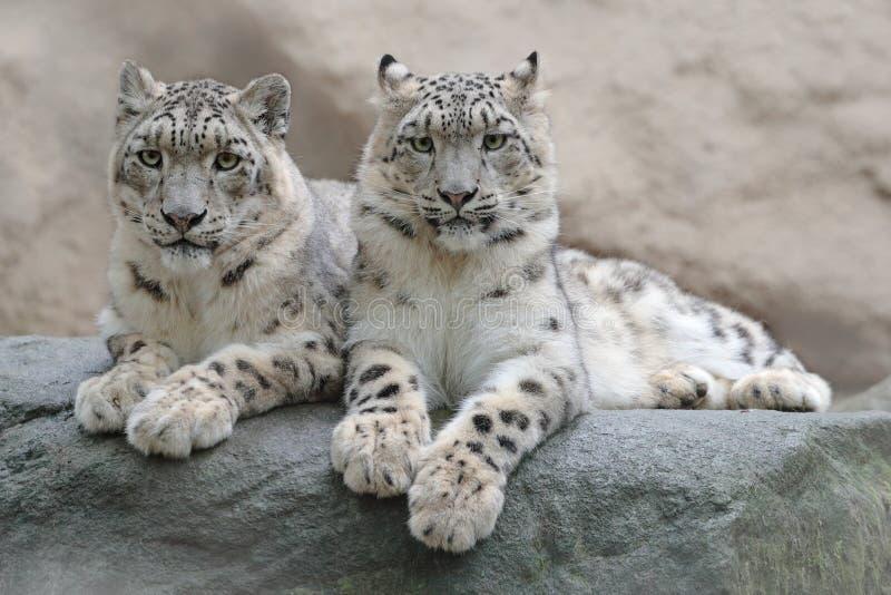 Ζευγάρι της λεοπάρδαλης χιονιού με το σαφές υπόβαθρο βράχου, εθνικό πάρκο Hemis, Κασμίρ, Ινδία Σκηνή άγριας φύσης από την Ασία Πο στοκ εικόνα με δικαίωμα ελεύθερης χρήσης