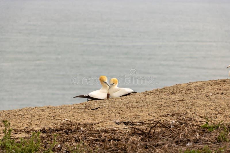 """Ζευγάρι του ζευγαρώματος gannets, """"φιλώντας """"στους απαγωγείς ακρωτηρίων, Νέα Ζηλανδία στοκ φωτογραφίες"""