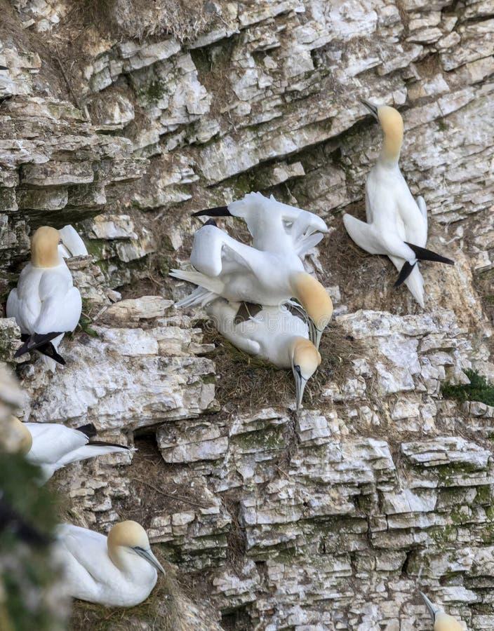 Ζευγάρι του ζευγαρώματος Gannets στοκ εικόνες με δικαίωμα ελεύθερης χρήσης