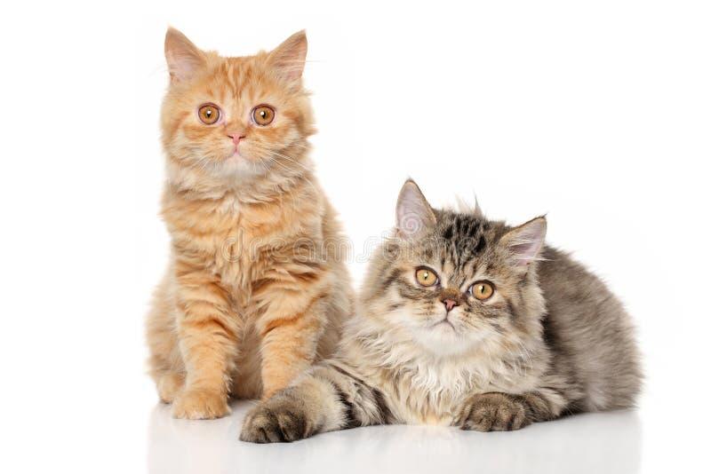 Ζευγάρι του περσικού γατακιού στοκ εικόνες