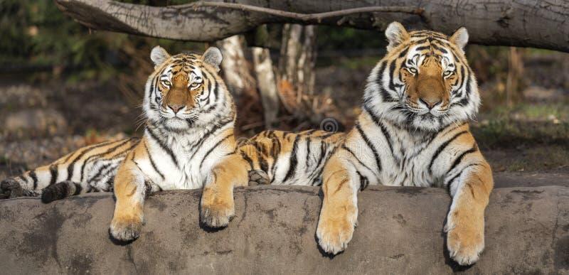 Ζευγάρι του σιβηρικού altaica Panthera Τίγρης τιγρών στοκ φωτογραφίες με δικαίωμα ελεύθερης χρήσης