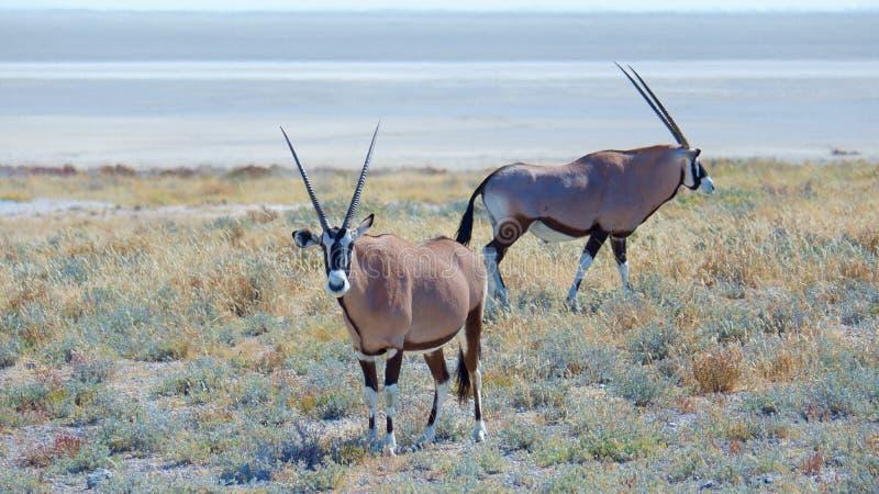 Ζευγάρι του gazella Geemsbok Oryx στοκ φωτογραφία με δικαίωμα ελεύθερης χρήσης