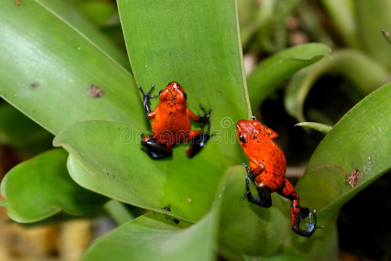 Ζευγάρι του pumilio Dendrobates βατράχων δηλητήριο-βελών στοκ φωτογραφία με δικαίωμα ελεύθερης χρήσης
