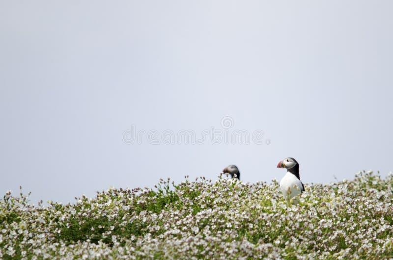 Ζευγάρι των θαλασσοπουλιών Puffin σε έναν τομέα στοκ φωτογραφία