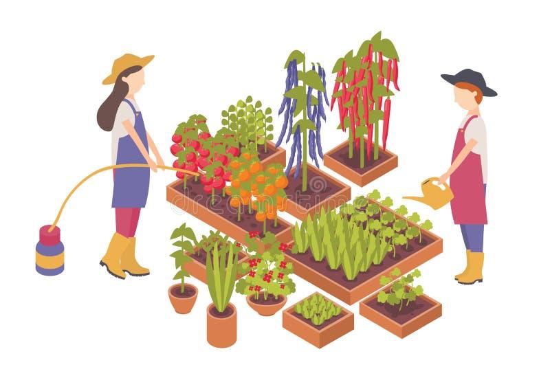 Ζευγάρι των θηλυκών χαρακτηρών κινουμένων σχεδίων που ποτίζουν την ανάπτυξη λαχανικών στα κιβώτια ή τους καλλιεργητές που απομονώ διανυσματική απεικόνιση