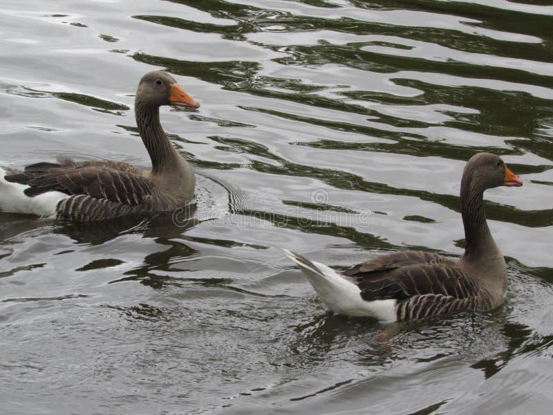 Ζευγάρι των παπιών στο νερό στοκ εικόνα με δικαίωμα ελεύθερης χρήσης