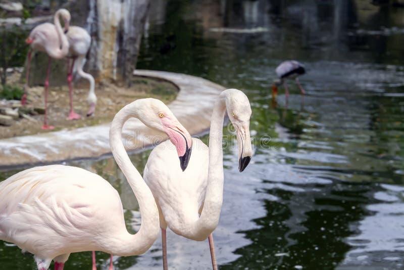 Ζευγάρι των ρόδινων φλαμίγκο σε μια λίμνη με έναν καταρράκτη στο πάρκο πουλιών της Κουάλα Λουμπούρ στοκ φωτογραφίες
