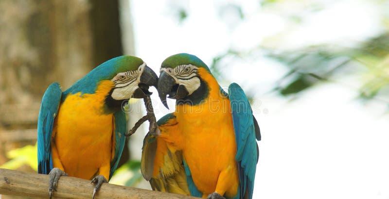 Ζευγάρι των macaws σε έναν κλάδο στην του Εκουαδόρ Αμαζώνα Κοινά ονόματα: Guacamayo ή Papagayo στοκ φωτογραφία