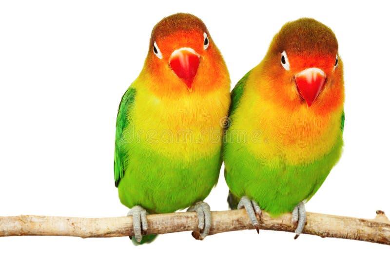 ζευγάρι lovebirds στοκ εικόνες με δικαίωμα ελεύθερης χρήσης