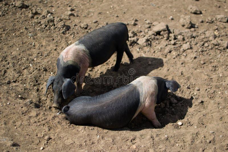 Ζευγάρι Saddleback των χοίρων, ρύπος στοκ φωτογραφίες