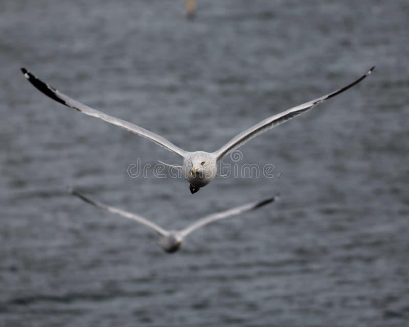 Ζευγάρι seagulls κατά την πτήση στοκ φωτογραφία