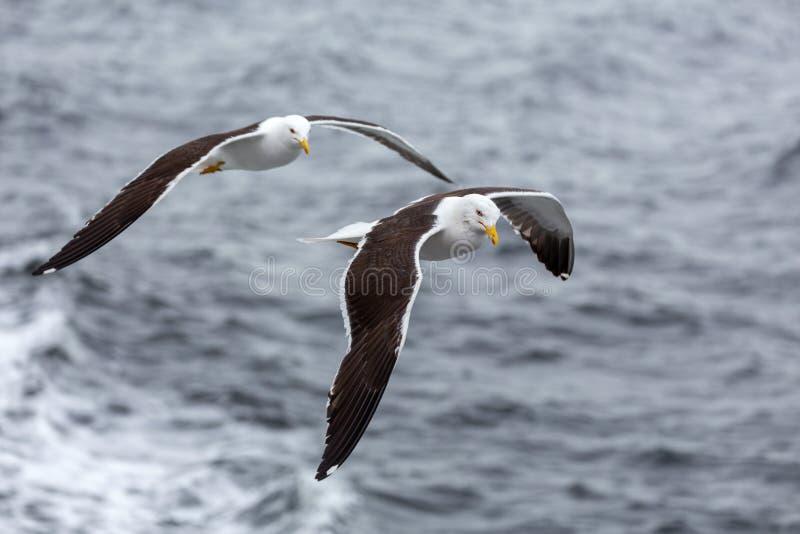 Ζευγάρι seagulls των μυγών ενάντια στη θάλασσα στο δυσάρεστο καιρό στοκ φωτογραφία με δικαίωμα ελεύθερης χρήσης