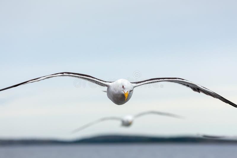 Ζευγάρι seagulls των μυγών στον ορίζοντα επάνω από τη θάλασσα στοκ φωτογραφίες