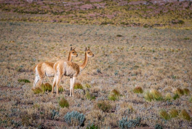 Ζευγάρι vicunas στη Χιλή στοκ φωτογραφία με δικαίωμα ελεύθερης χρήσης
