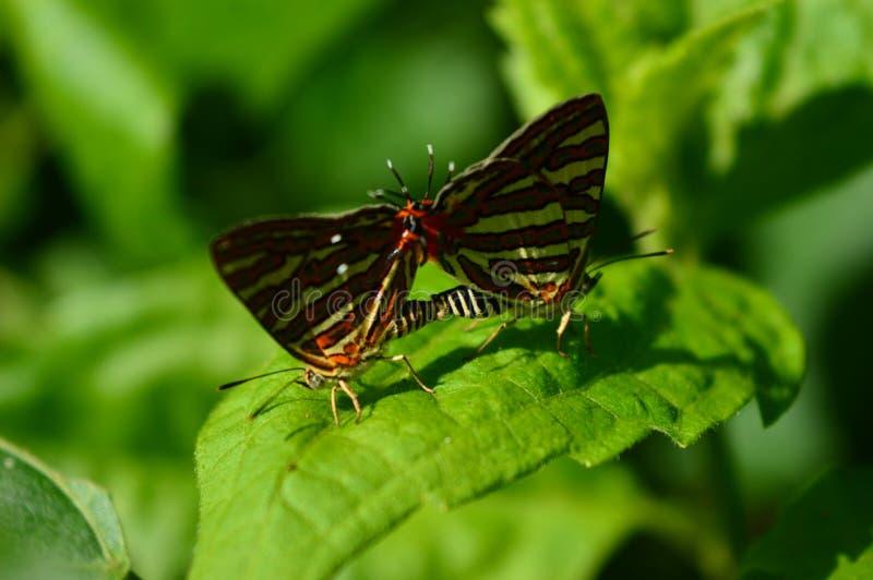 Ζευγάρωμα πεταλούδων κάτι θετικού στο φως του ήλιου στοκ εικόνες με δικαίωμα ελεύθερης χρήσης