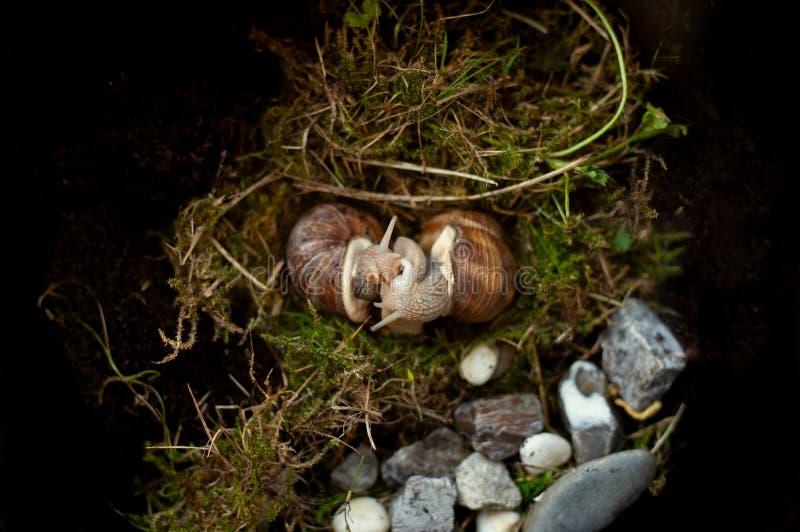 Ζευγάρωμα των σαλιγκαριών Ζευγάρωμα του έλικα Pomatia με τον ορατό σάκο πεών και βελών στοκ φωτογραφία με δικαίωμα ελεύθερης χρήσης