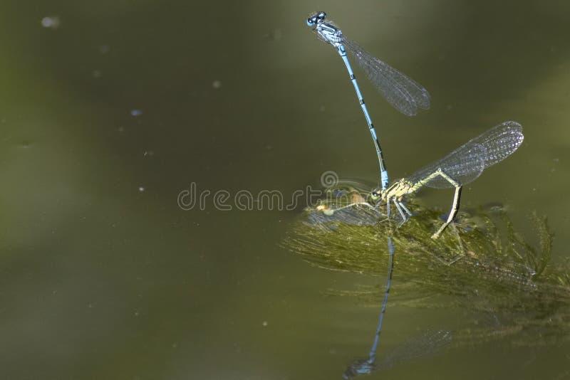 Ζευγάρωμα Damselflies στο νερό στοκ εικόνα με δικαίωμα ελεύθερης χρήσης