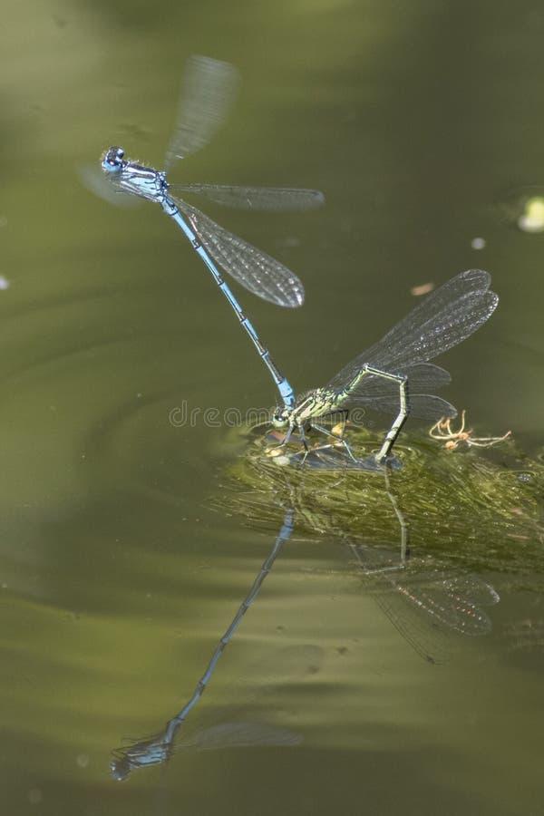 Ζευγάρωμα Damselflies στο νερό στοκ εικόνες