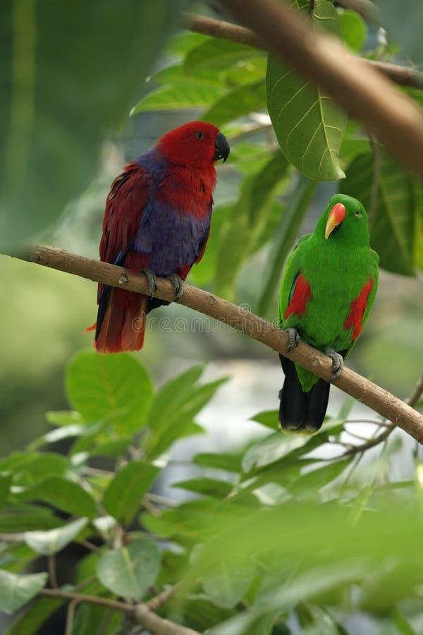ζευγαρωμένοι eclectus παπαγάλ&omicron στοκ φωτογραφία με δικαίωμα ελεύθερης χρήσης