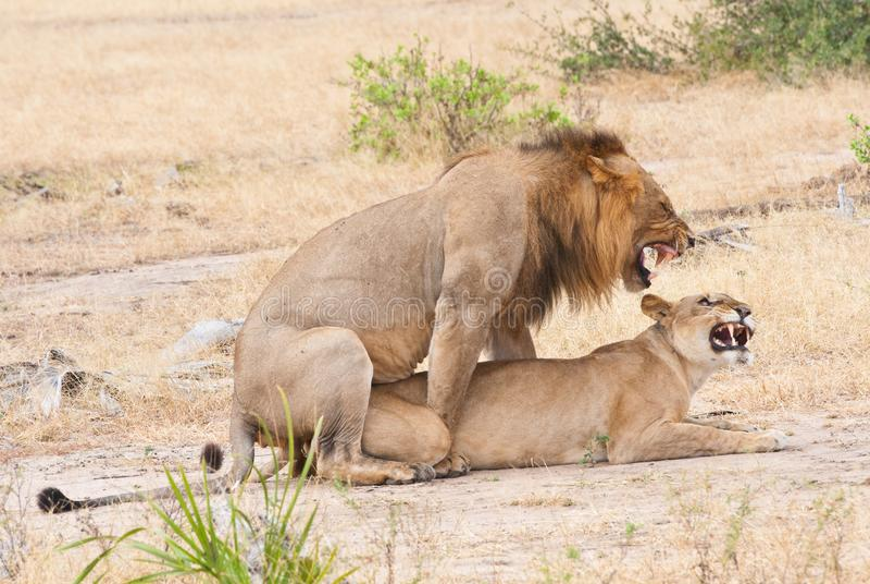 Ζευγαρώνοντας λιοντάρια στη σαβάνα στην Αφρική - εθνική επιφύλαξη παιχνιδιού πάρκων selous στην Τανζανία στοκ εικόνες