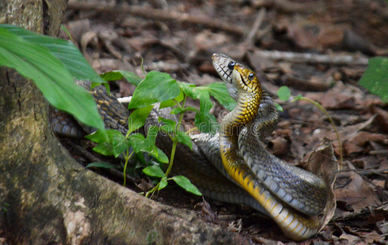 Ζευγαρώνοντας φίδια γατών στοκ εικόνα