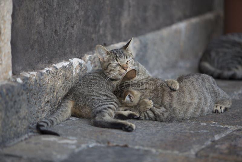 Ζεύγος γατών που φροντίζει το ένα το άλλο στοκ εικόνες