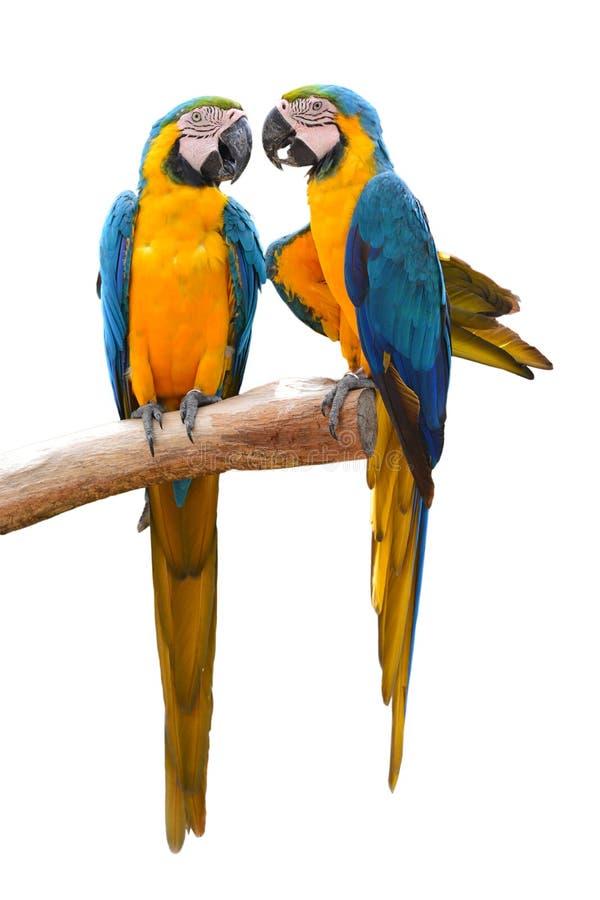 Ζεύγος μπλε και του χρυσού macaw στοκ φωτογραφίες με δικαίωμα ελεύθερης χρήσης