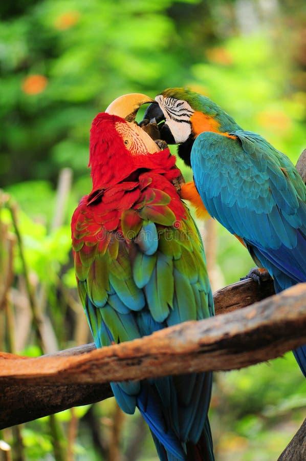 Ζεύγος παπαγάλων (psittacines) στοκ φωτογραφία με δικαίωμα ελεύθερης χρήσης
