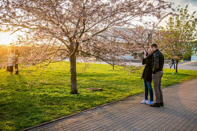 Ζεύγος που παίρνει τις εικόνες Sakura που ανθίζουν, Vilnius στοκ φωτογραφίες με δικαίωμα ελεύθερης χρήσης
