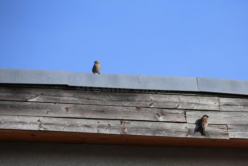 Ζεύγος σπουργιτιών σπιτιών στη στέγη στοκ φωτογραφίες με δικαίωμα ελεύθερης χρήσης